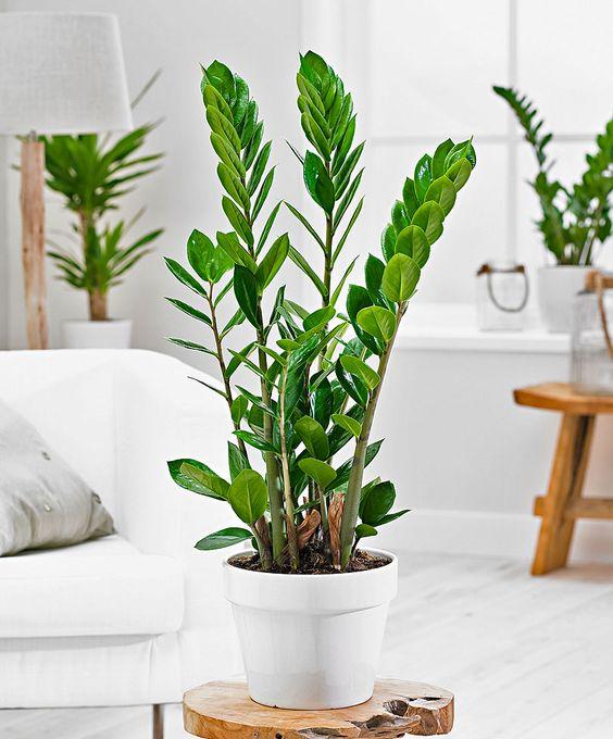 Zamiokulkas Zamiolistny Kwiaty Domowe Rozmiar Xl 7587887898 Allegro Pl