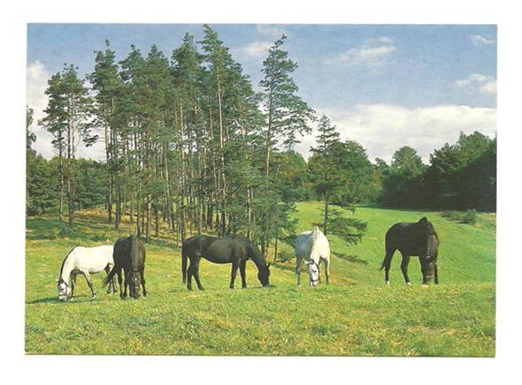 Открытка - Конный завод в Кадынах - Кобылы, лошадь