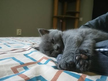 Aktualne Sprzedam Koty Brytyjskie niebieskie krótkowłose - 7306900995 UY99