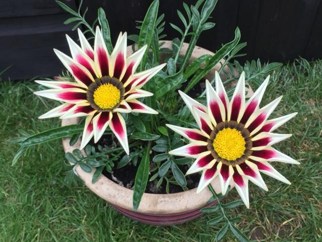 Gazania Cudne Kwiaty Otwarte W Dzien Zamkniete Noc 7135985987 Oficjalne Archiwum Allegro