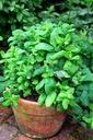 MIĘTA MAROKAŃSKA na upały, na żołądek ZIOŁA Roślina w postaci sadzonka w pojemniku 0,5-1l