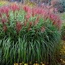 MISKANT ROTSILBER wysoka trawa i czerwone wiechy