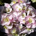 Hortensja ogrodowa Domotoi odmiana japońska, P9