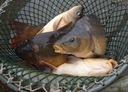 karp żywy ryby - karp