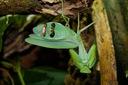Rhombodera extensicollis Modliszka tarczowa L4-5
