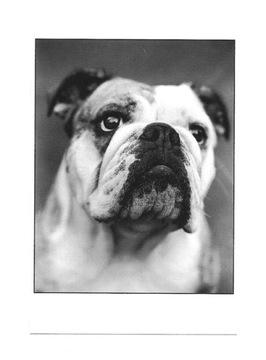 Pocztówka - Buldog angielski - portret psa / pies доставка товаров из Польши и Allegro на русском