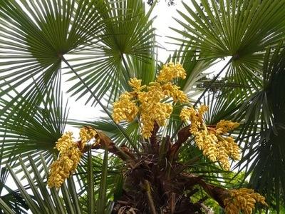 Trachycarpus ПАЛЬМА МОРОЗОСТОЙКАЯ - СЕМЕНА